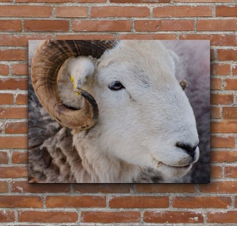 Herdie Tup Herdiwick Sheep Large Canvas Print